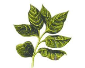 <!--:es-->El té verde, una ayuda contra la psoriasis  y otras enfermedades cutáneas<!--:-->