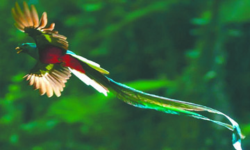 """<!--:es-->En peligro de extinción el ave sagrada para aztecas y mayas """"El Quetzal""""<!--:-->"""