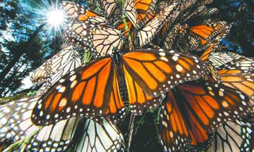 <!--:es-->Abren santuarios de las mariposas monarca en Michoacán y Estado de México<!--:-->