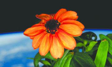 <!--:es-->Cultiva astronauta primeras flores en el espacio<!--:-->