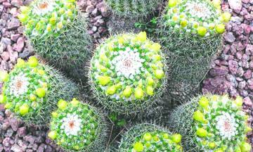 El millonario negocio del tráfico ilegal de los cactus más codiciados